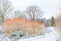 Cornus sanguinea 'Midwinter Fire', Acer griseum and Chamaecyparis lawsoniana 'Winston Churchill' in curved borders. The Winter Garden, Cambridge Botanic Gardens, UK.