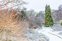 Cornus sanguinea 'Midwinter Fire' and Chamaecyparis lawsoniana 'Winston Churchill' growing in curved borders.  The Winter Garden, Cambridge Botanic Gardens, UK.