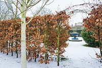 Fagus - Beech hedge in winter with view to large cast iron urn.