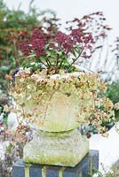 Skimmia, Viola and variegated ivy in stone urn.
