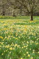 Narcissus pseudonarcissus naturalised in meadow area.