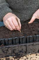Gardener making holes for sowing sweet pea seeds in deep root trainers.