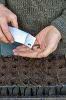 Gardening sowing sweet pea seeds in deep root trainers.