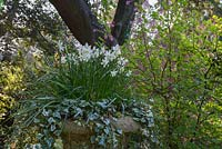 Ornamental planter with white Narcissus and Hedera. Swiss Garden, Old Warden near Biggleswade, UK.