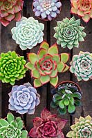 Collection of Echeveria and Pachyveria, Surreal Succulents, Tremenheere Nursery. Cornwall, UK.