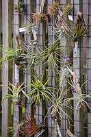 Tillandsia species - Air Plants - for sale.
