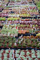 Nursery stock at Surreal Succulents, Tremenheere Nursery, Cornwall, UK.