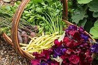 Trug with fresh vegetables - French beans, carrots, parsley and sweet peas.