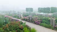 Rosa Garden with early morning mist.