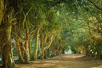 Tunnel of Ancient Yew - Taxus baccata.