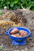 Potatoes in colander with opened clamp in background with straw.