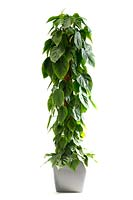Philodendron hederaceum on white background