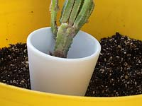 Newly divided Acanthocereus tetragonus - Cereus, in pot - Cactus maintenance.