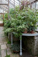 Plants on stand in Parham House Glasshouse including Pelargonium