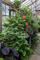 Cestrum parqui and Pelargonium 'Duke of Devonshire' in Parham House Glasshouse