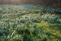 View of flowering Snowdrops naturalised in lawn at The Old Rectory, Kent