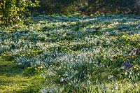 Naturalised flowering Snowdrops at The Old Rectory, Kent
