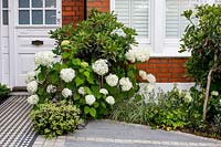 London house with black and white Victorian style tile path and tiled driveway featuring Hydrangea arborescens Anabelle, Eriobotrya Coppertone standard, Pittosporum tenuifolium Tom Thumb