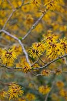 Hamamelis x intermedia 'Barmstedt Gold' - Witch Hazel 'Barmstedt Gold'