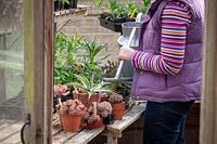 Woman watering cacti and succulents after their winter rest in greenhouse.