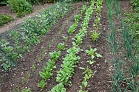 Recently hoed vegetable patch with broad beans, salad onions, spinach, beetroot and radish.