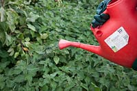 Applying a weedkiller, using a dedicated watering can fitted with a rose, 