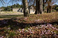 View over Cyclamen coum in woods towards buildings