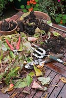 Collecting and saving begonia corms from a hanging basket for use the following year