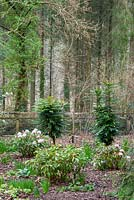 Rhododendron 'Christmas Cheer' and Mahonia x media 'Winter Sun' in woodland area.