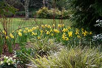 Cornus alba Baton Rouge 'Minbat' underplanted with Narcissus 'February Gold' and Carex morrowii 'Fisher's Form'.