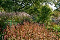 Persicaria amplexicaulis 'Orange Field' with Miscanthus behind.