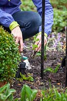 Person planting out sweet pea plugs in spring.