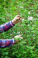 Man cutting back Ribes - Flowering currant after it has finished flowering.