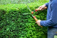 Man trimming a yew hedge with shears - Taxus baccata.