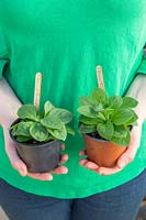 Woman holding two potted summer bedding Petunia plants, left handside plant has had the top shoots pinched to encourage bushy growth