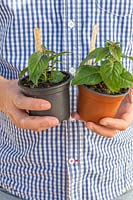 Person holding two potted summer bedding Fuchsia plants, one with pinched out top shoots to encourage bushy growth
