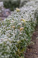 Buxus sempervirens - Common Box -  clipped hedge in frost.