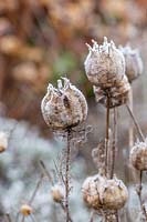 Nigella - Love-in-the-Mist - seed pods in frost.