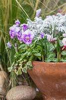 Autumnal terracotta pot with Viola, Hedera, Senecio maritima, Cyclamen and Crocus shoots