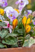 Crocus 'Zwanenburg Bronze',  Viola 'Sorbet Pink Halo', Hedera - Ivy and Cyclamen in mixed terracotta pot.