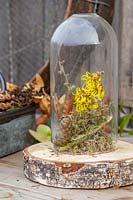 Winter decoration of moss, cones, twigs and Hamamelis - Witch hazel flowers - under ornamental glass cloche.