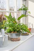 Indoor ferns in galvanised metal containers on window sill.