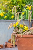Eranthis - Winter Aconite - and Birch catkins in terracotta pot.