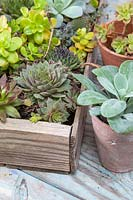 Mix of succulents in wooden tray and pots