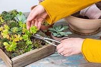 Woman cutting small piece of succulent with scissors