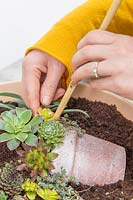 Woman using a bammboo stick for planting small succulent in shallow pot to create a picture of a pot in a pot