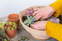 Woman planting succulent in shallow pot to create a picture of a pot in a pot