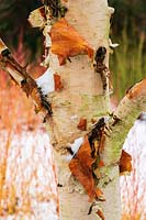 Peeling bark of Betula utilis var. jacquemontii 'Grayswood Ghost' with stems of Cornus sanguinea 'Winter Beauty' in snow