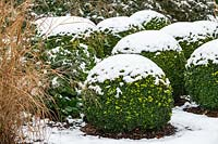 Buxus sempervirens - box balls covered in snow