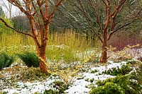 The Winter Garden at the Sir Harold Hillier Gardens, Hampshire, UK. Planting includes Acer griseum, Hamamelis x intermedia 'Pallida' and Cornus sericea 'Bud's Yellow'
